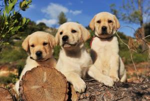 3 chiots labrador