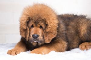 Mastiff Tibetin