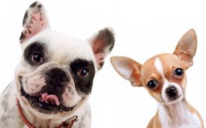 Chihuahua et bulldog français