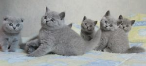 Chatons British Shorthair